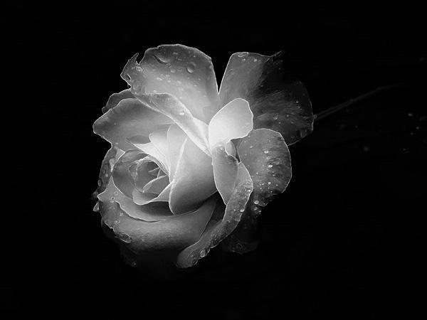 Mariposa azul » rosa-blanca
