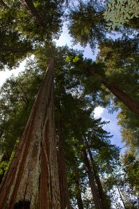 Sequoia_sempervirens_Big_Basin_Redwoods_State_Park_1