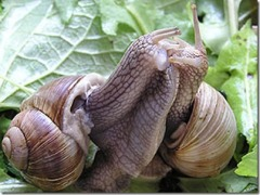 snail-mating_thumb