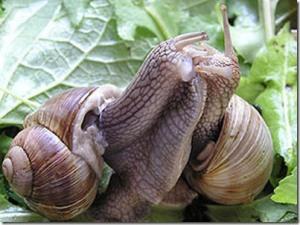 snail-mating_thumb